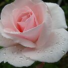 September in the Rain rose by MarianBendeth
