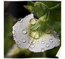 Raindrops on sweet pea Poster