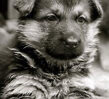 Sweet As Candy (German Shepherd Puppy) by Lou Wilson