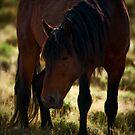 Wild Stallion - Antelope Valley, Nevada by Sue Ratcliffe