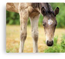 Buckskin foal  Canvas Print