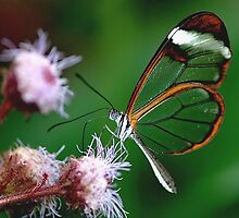 Glasswing Feeding by John Morrison