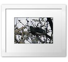 Coo Coo Kereru Framed Print