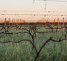 Warrabilla Wines - Parola's Winter Vines by Georgina James
