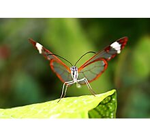 Face to Face Glasswing - Greta oto Photographic Print