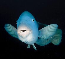 Eastern Blue Groper - Achoerodus viridis by Andrew Trevor-Jones