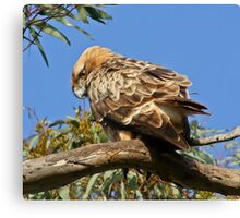 Little Eagle( Hieraaetus morphoides) Canvas Print