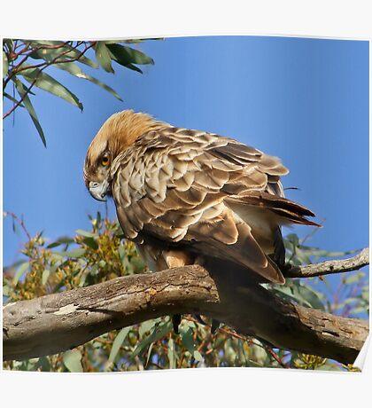 Little Eagle( Hieraaetus morphoides) Poster