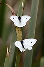 Two White Butterflies by yolanda