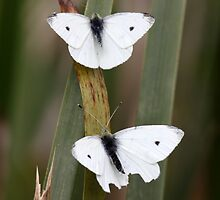 Two White Butterflies by yolanda