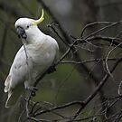Cheeky Cockatoo by yolanda