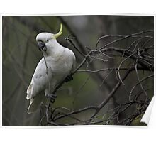 Cheeky Cockatoo Poster