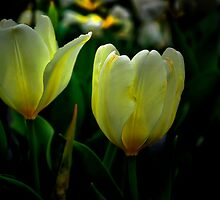 It Tkes Two To Tango ~ White Tulips ~ by Charles & Patricia   Harkins ~ Picture Oregon