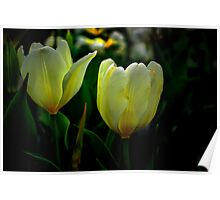 It Tkes Two To Tango ~ White Tulips ~ Poster