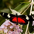 Common Long Wing (Heliconius erato) by SWEEPER