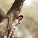 Red Capped Robin ,Menzies.West Australia by robynart