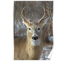 Winter White-tailed Deer Poster