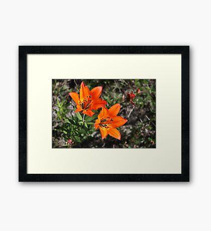Rocky Mountain Lily Framed Print