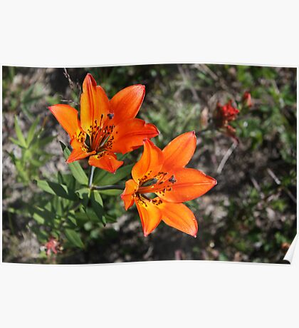 Rocky Mountain Lily Poster