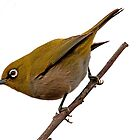 White-Eye by Lamprecht