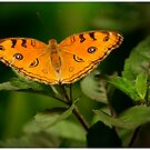 Orange Fairy by Neeraj Nema