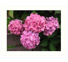Pink Hydrangea Blossoms Art Print
