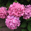 Pink Hydrangea Blossoms by BlueMoonRose