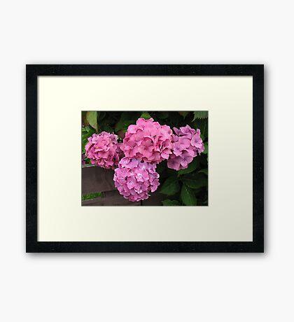 Pink Hydrangea Blossoms Framed Print