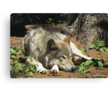Timber Wolf Chilling Out Canvas Print