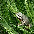 European Tree Frog ( Hyla arborea) by Istvan froghunter