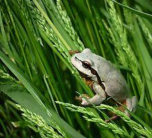 European Tree Frog ( Hyla arborea) by Istvan froghunter