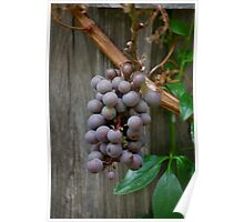 Grapes grow on vines Poster