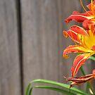 Orange and yellow Lillies against Barn by Jennifer P. Zduniak