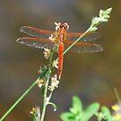 Red Dragonfly Close-Up by Jennifer P. Zduniak
