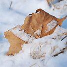 Maple Leaf in PA snow by Jennifer P. Zduniak