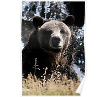 Yellowstone 2011- Grizzly Bear Poster