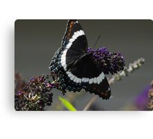 White Admiral Canvas Print