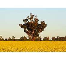 Canola at Grenfell Photographic Print