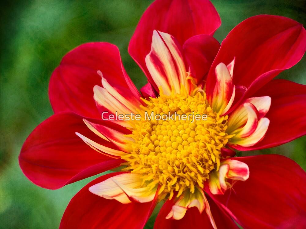 Cheerful dahlia by Celeste Mookherjee