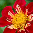 Cheerful dahlia by Celeste Mookherjee