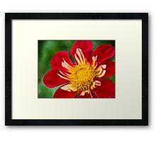 Cheerful dahlia Framed Print