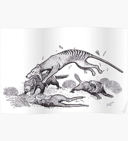 Thylacine attacking devils Poster