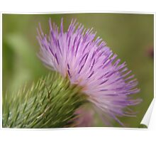Purple Bull Thistle Poster