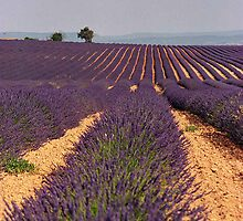 Field of lavender - Haute Provence, France by mightymite