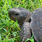 Gopher Tortoise - Backyard Buddy by Huckleberry20