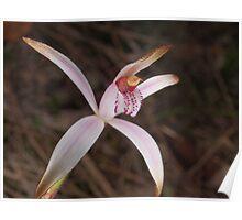white spider orchid ?Caladenia hirta Poster