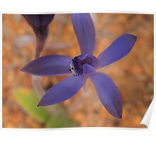 early blue fairy orchid,Pheladenia deformis Poster