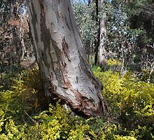 A Carpet of Wattles by Lozzar Landscape