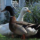 The Ducks! by KiriLees