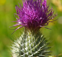 Thistle by kalaryder